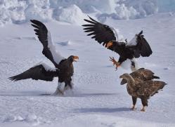 stellers-sea-eagle-japan5785copyright-photographers-on-safari-com
