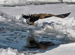 stellers-sea-eagle-japan5812copyright-photographers-on-safari-com