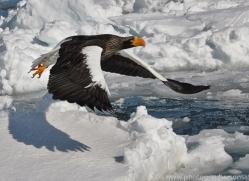 stellers-sea-eagle-japan5815copyright-photographers-on-safari-com