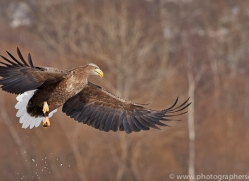 white-tailed-eagle-japan5849copyright-photographers-on-safari-com