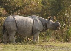 asian-one-horned-rhino-3911-india-copyright-photographers-on-safari-com