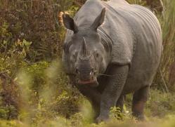 asian-one-horned-rhino-3921-india-copyright-photographers-on-safari-com