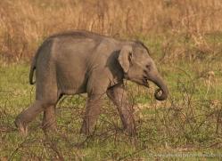 indian-elephant-3883-india-copyright-photographers-on-safari-com