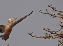 pelican-3886-india-copyright-photographers-on-safari-com