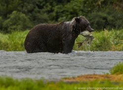 Brown Bear 2014-11copyright-photographers-on-safari-com