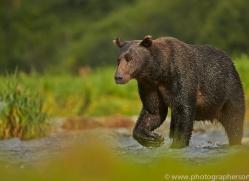Brown Bear 2014-13copyright-photographers-on-safari-com