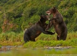 Brown Bear 2014-14copyright-photographers-on-safari-com
