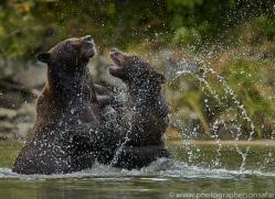 Brown Bear 2014-15copyright-photographers-on-safari-com
