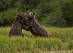 Brown Bear 2014-18copyright-photographers-on-safari-com