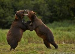 Brown Bear 2014-21copyright-photographers-on-safari-com