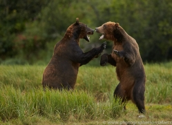 Brown Bear 2014-25copyright-photographers-on-safari-com