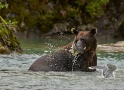 Brown Bear 2014-2copyright-photographers-on-safari-com