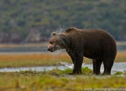 Brown Bear 2014-3copyright-photographers-on-safari-com