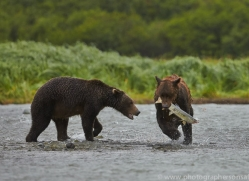 Brown Bear 2014-5copyright-photographers-on-safari-com