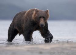 brown-bear-alaska-1256-copyright-photographers-on-safari-com