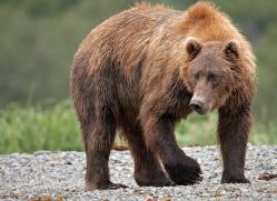 brown-bear-alaska-1257-copyright-photographers-on-safari-com