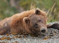 brown-bear-alaska-1258-copyright-photographers-on-safari-com