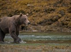brown-bear-alaska-1274-copyright-photographers-on-safari-com
