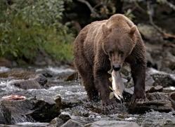 brown-bear-alaska-1277-copyright-photographers-on-safari-com
