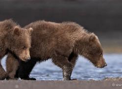 brown-bear-alaska-1287-copyright-photographers-on-safari-com