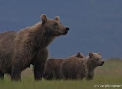 brown-bear-alaska-1291-copyright-photographers-on-safari-com