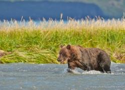 brown-bear-alaska-1292-copyright-photographers-on-safari-com