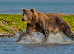 brown-bear-alaska-1294-copyright-photographers-on-safari-com
