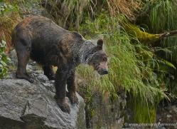 brown-bear-alaska-1295-copyright-photographers-on-safari-com