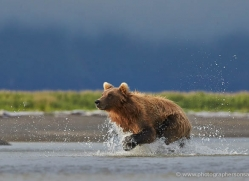 brown-bear-alaska-1301-copyright-photographers-on-safari-com
