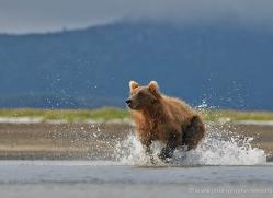 brown-bear-alaska-1302-copyright-photographers-on-safari-com