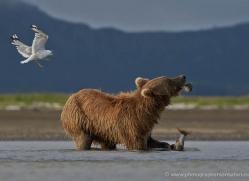 brown-bear-alaska-1304-copyright-photographers-on-safari-com