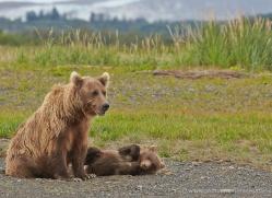 brown-bear-alaska-1310-copyright-photographers-on-safari-com