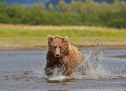 brown-bear-alaska-1311-copyright-photographers-on-safari-com