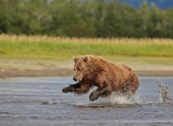 brown-bear-alaska-1312-copyright-photographers-on-safari-com