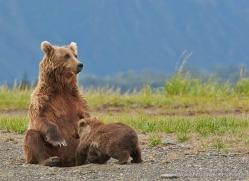 brown-bear-alaska-1314-copyright-photographers-on-safari-com
