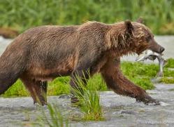 brown-bear-alaska-1315-copyright-photographers-on-safari-com