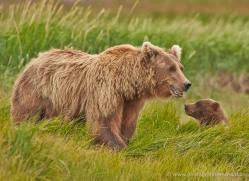 brown-bear-alaska-1324-copyright-photographers-on-safari-com