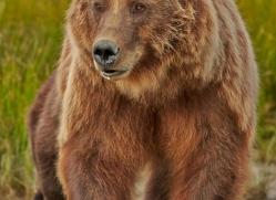 brown-bear-alaska-1326-copyright-photographers-on-safari-com