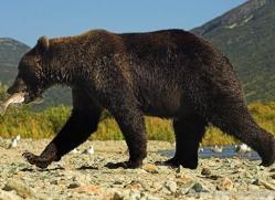 brown-bear-alaska-1331-copyright-photographers-on-safari-com