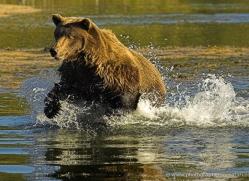 brown-bear-alaska-1336-copyright-photographers-on-safari-com