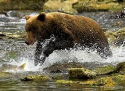 brown-bear-alaska-1338-copyright-photographers-on-safari-com