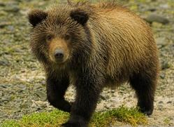 brown-bear-alaska-1339-copyright-photographers-on-safari-com