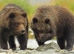 brown-bear-alaska-1341-copyright-photographers-on-safari-com
