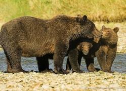 brown-bear-alaska-1343-copyright-photographers-on-safari-com