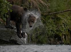 brown-bear-alaska-1349-copyright-photographers-on-safari-com
