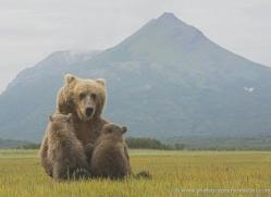 brown-bear-alaska-1350-copyright-photographers-on-safari-com