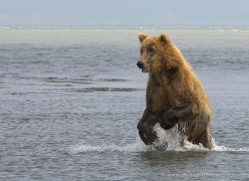 brown-bear-alaska-1354-copyright-photographers-on-safari-com