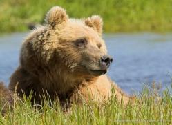 brown-bear-alaska-1356-copyright-photographers-on-safari-com