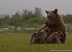 brown-bear-alaska-1358-copyright-photographers-on-safari-com