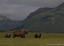 brown-bear-alaska-1359-copyright-photographers-on-safari-com